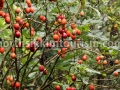 Wild tomatoes at Dzongu